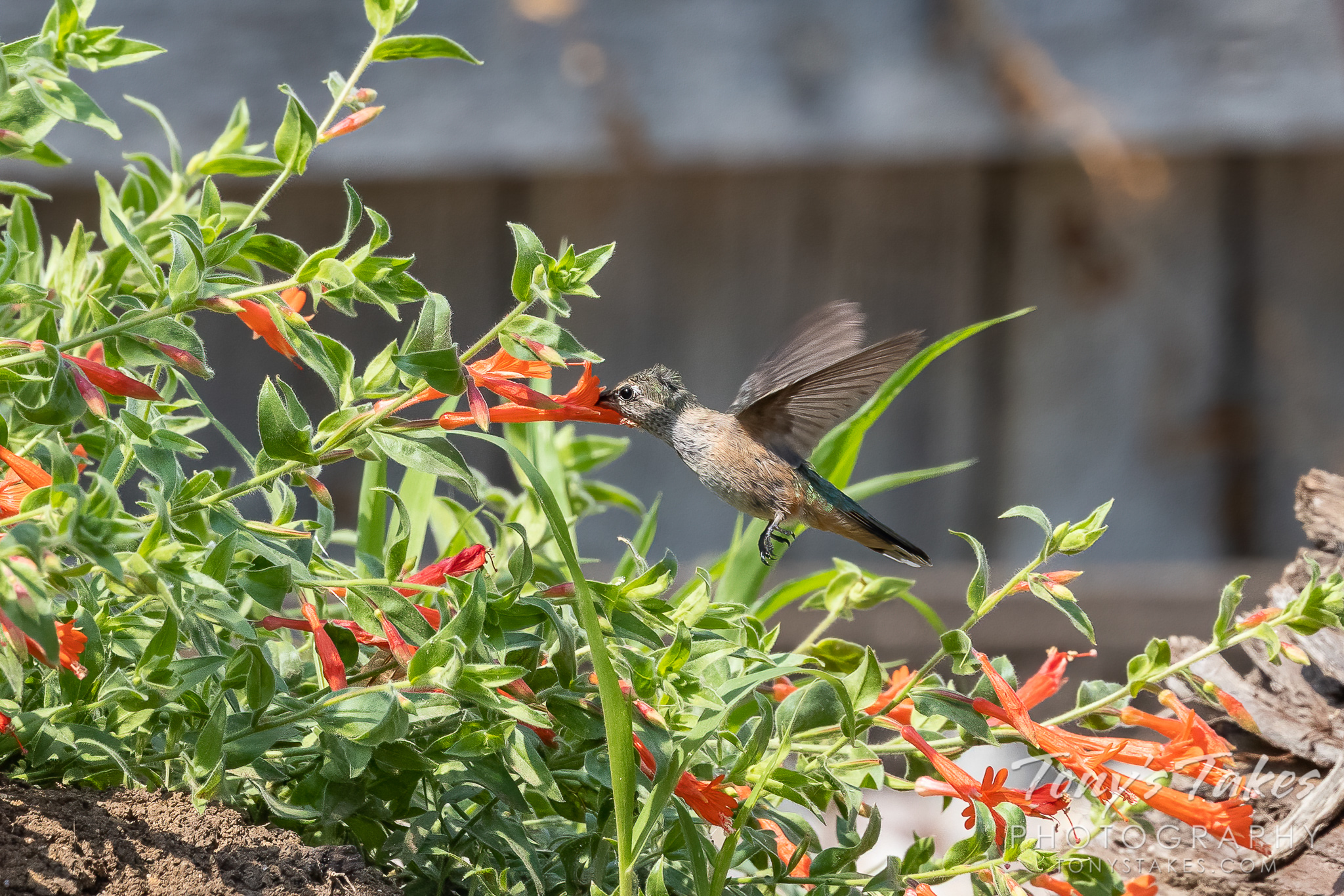 A hummingbird gets a drink from a zauschneria. (© Tony's Takes)