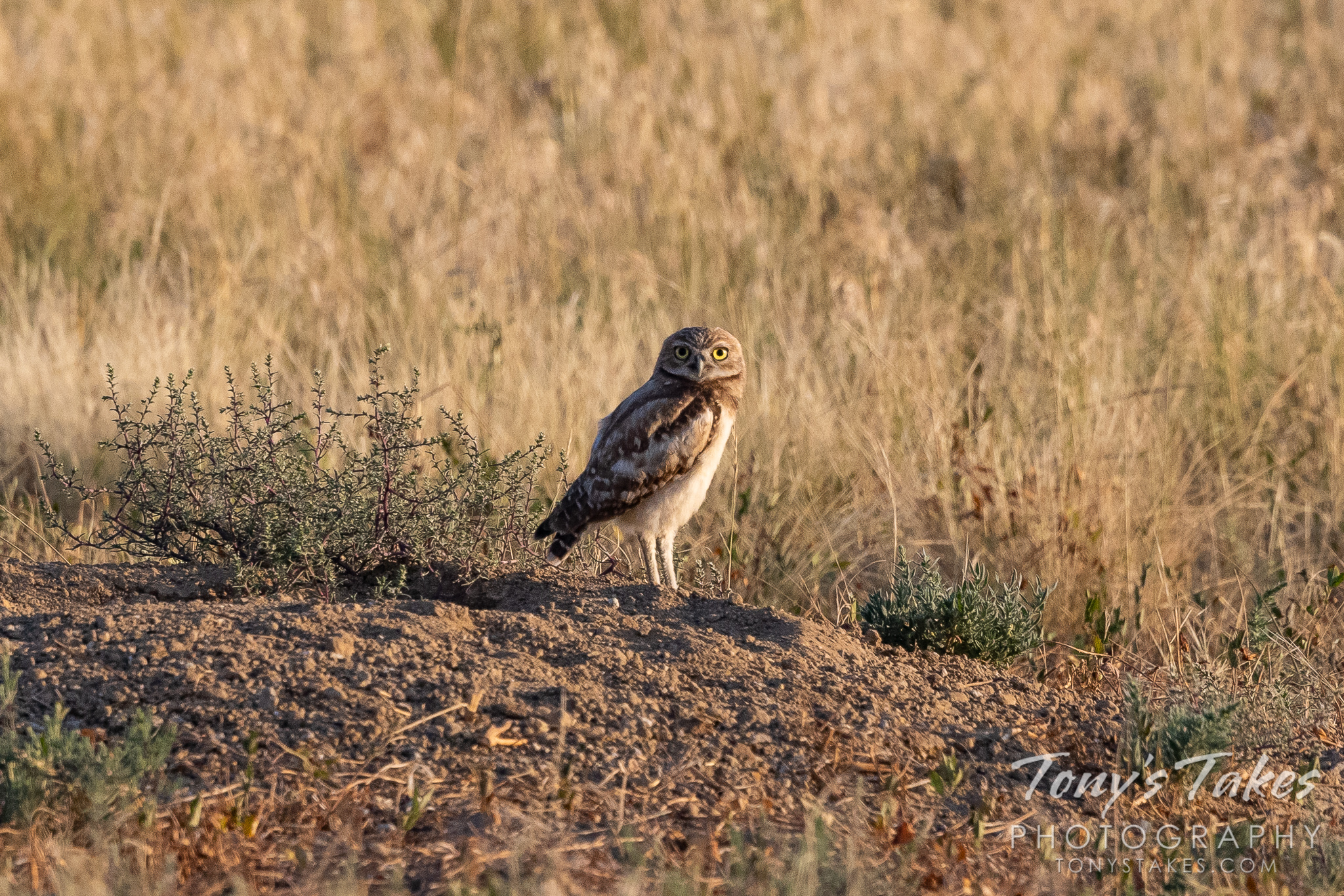 The last burrowing owl of the season?