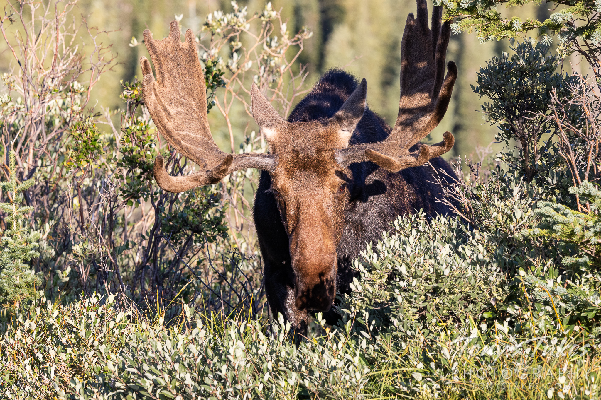 Moose bull emerges from the shadows