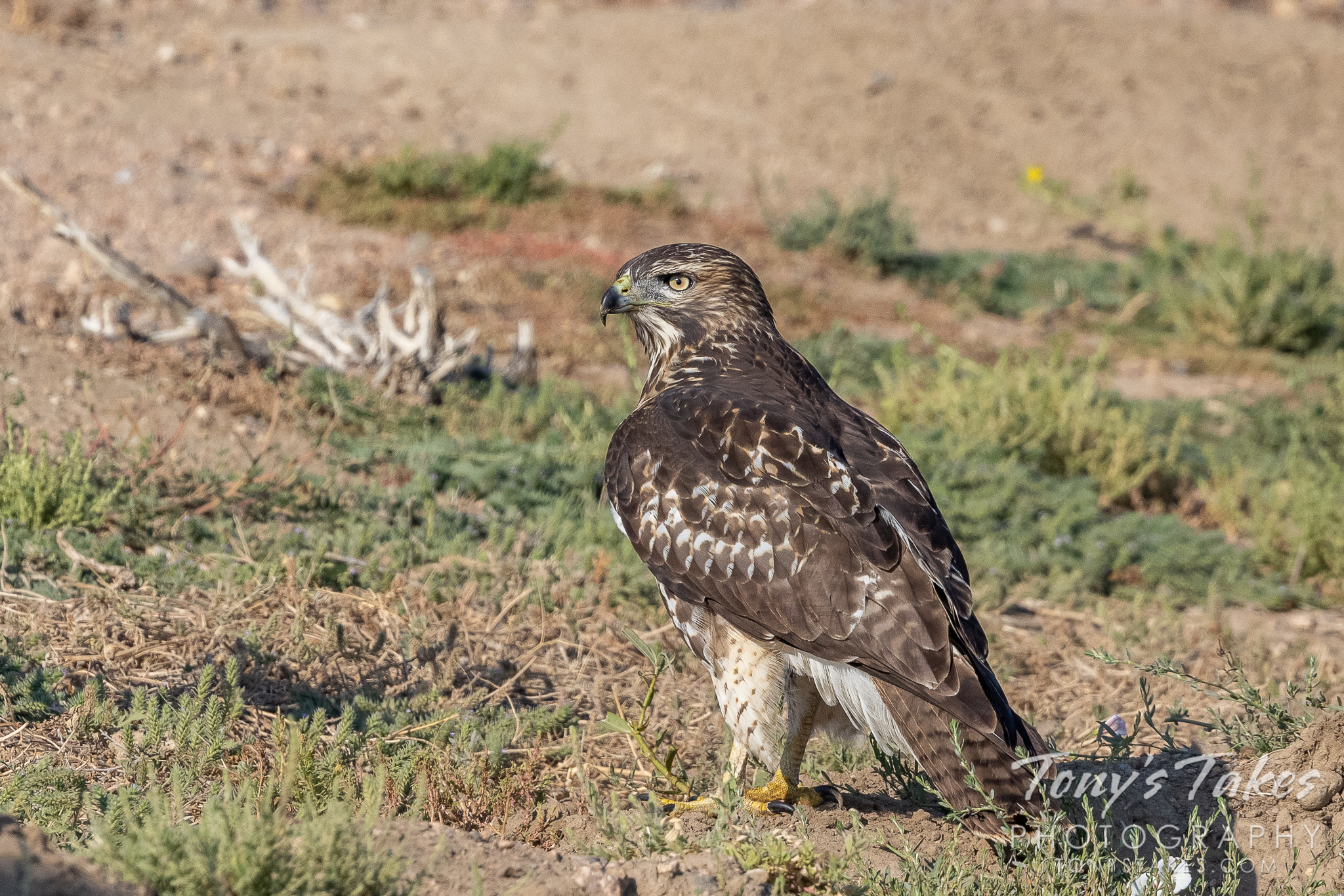 Young red-tailed hawk stakes out the low ground