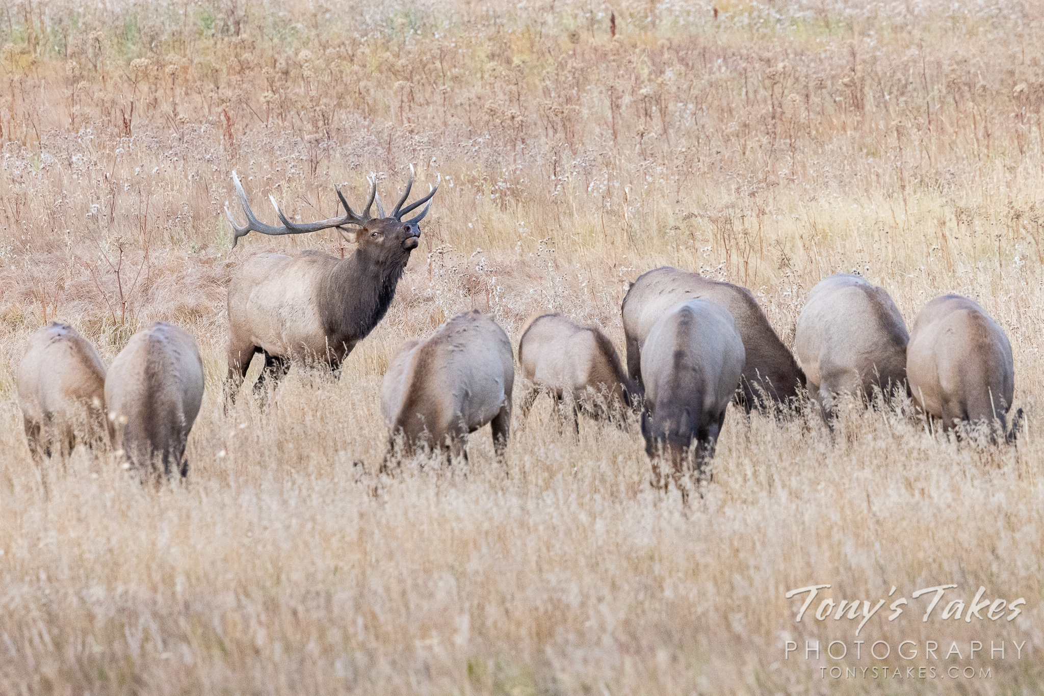 Lining up the ladies and checking them out for Wapiti Wednesday