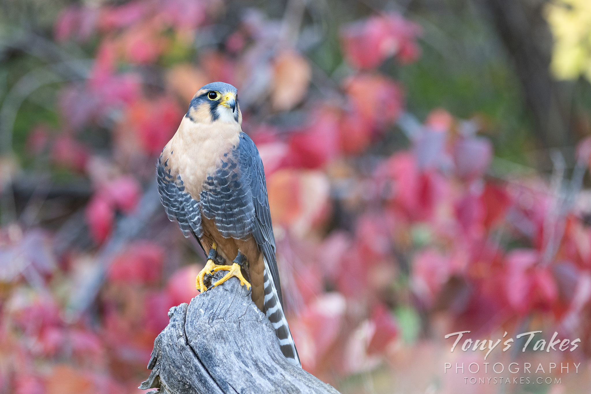 Aplomado falcon poses among fall colors