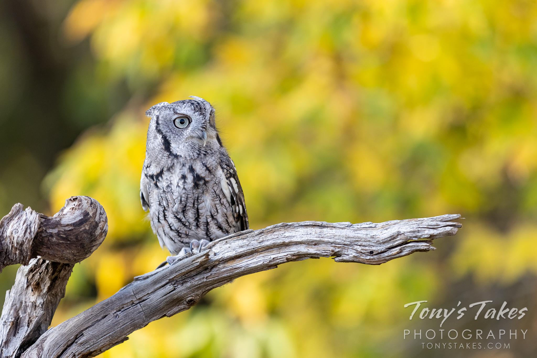 Screech owl posing with fall foliage