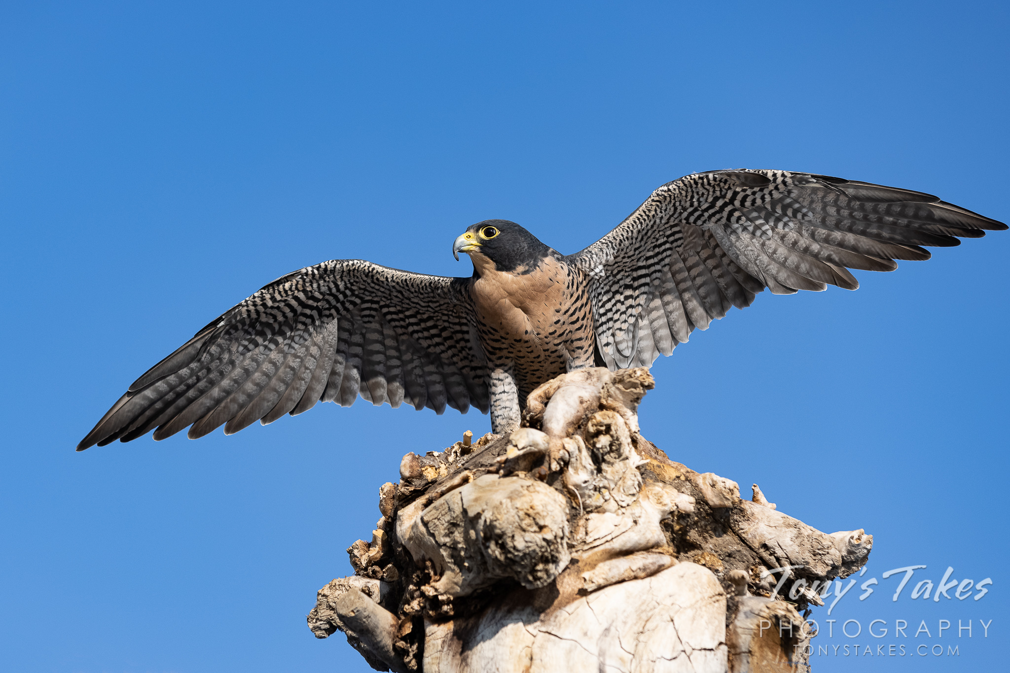 Peregrine falcon shows of its wingspread
