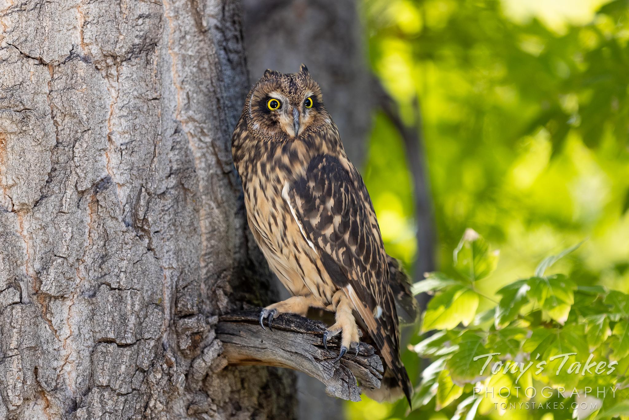 Wide-eyed short-eared owl keeping watch