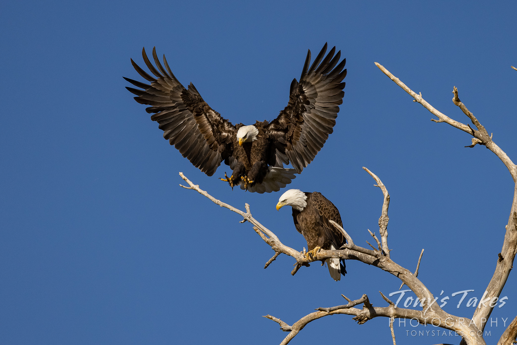 Bald eagle joins its mate on a beautiful fall day