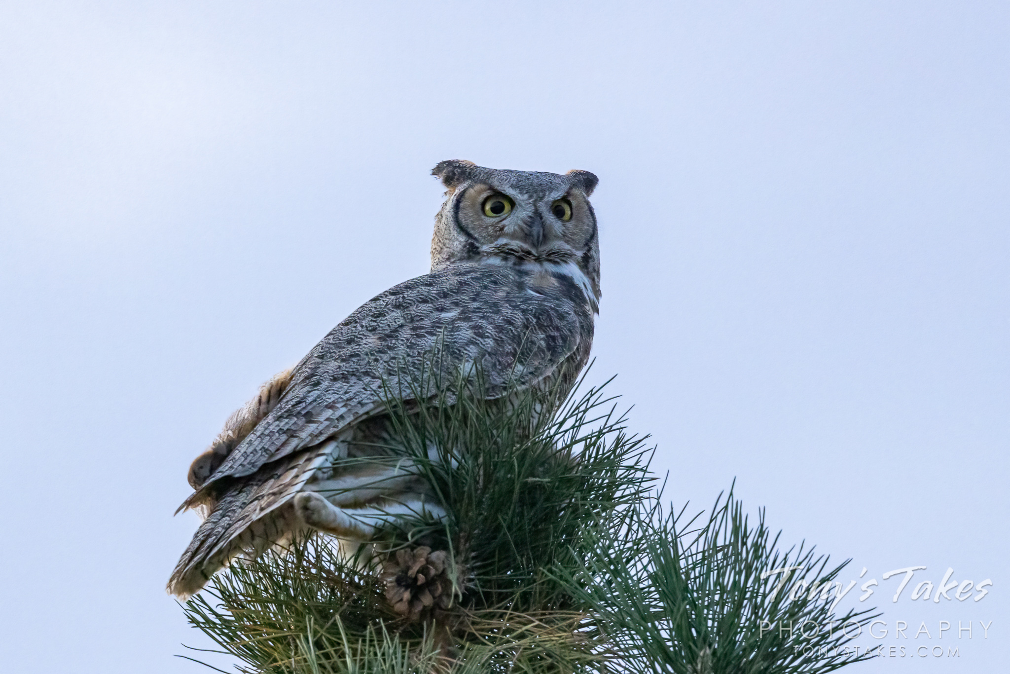 A great horned owl keeps watch after sunset. (© Tony's Takes)