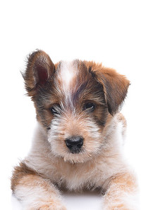 Closeup Australian Shepherd Mix Puppy