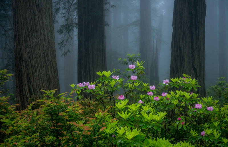 Rhodies & Redwoods. Redwoods National & State Parks, California.