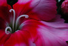 Dianthus # 64-021