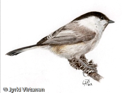 Willow Tit (2002)