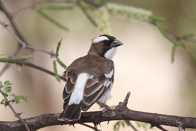 White-browed Sparrow Weaver - Kenya