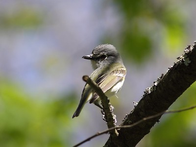 Blue-headed Vireo - Swallow Falls MD