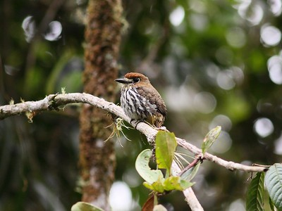 Lanceolated Monklet - Colombia