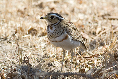 three-banded_courser_big.jpg