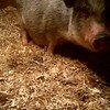 A pig from Shay's Flock of Fun Farm in Townsend, where a man was severely injured when he was attacked by a pig Tuesday night. <br /> FACEBOOK PHOTO