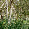 Paperbark  Forest. Millstream. Karajinni National Park