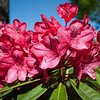 Rhododendron blooms