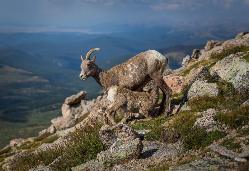 Nursing on Mt. Evans