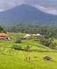 The ricefields of Bali