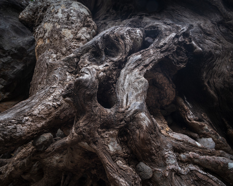 Exposed Sycamore Roots