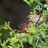Common Yellowthroat - Female