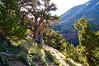 Morning sun flares through an ancient bristlecone pine on the trail to San Luis Peak; Colorado San Juan Range