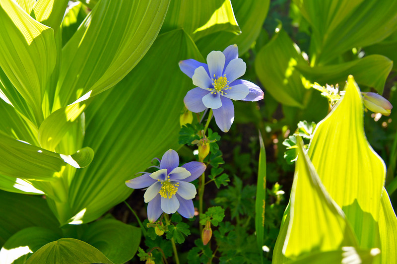 Columbines in the shade of lovely (but poisonous) Corn Lilies; Chicago Basin; Colorado San Juan Range