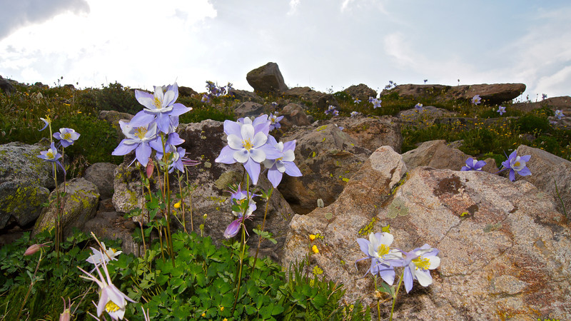 Columbine spring up among the boulders above St. Mary's Glacier, Colorado Front Range.