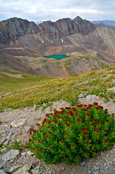 Even at 13,700 ft., wildflowers thrive on the western side of Handies Peak; Colorado San Juan Range.