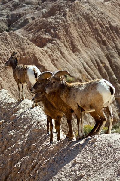A family of Bighorn balance, without a care, on a narrow ridge; Badlands, South Dakota.