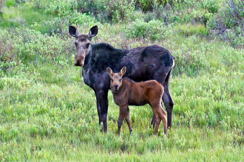 Momma and baby moose in a meadow near Kenosha Pass, Colorado.