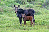 Momma and baby moose in a meadow near Kenosha Pass, Colorado.