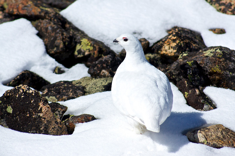 To avoid predators, these flightless birds change their color in the winter to blend with the snow.