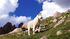 A Mountain Goat strikes a pose on the the lower north slopes of Windom Peak; Colorado San Juans.