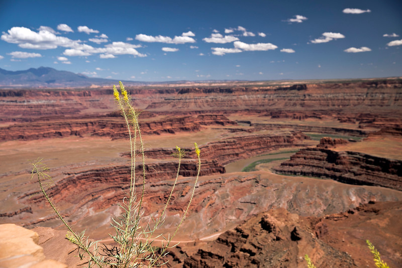 Princes Plume at Dead Horse Point (UT)