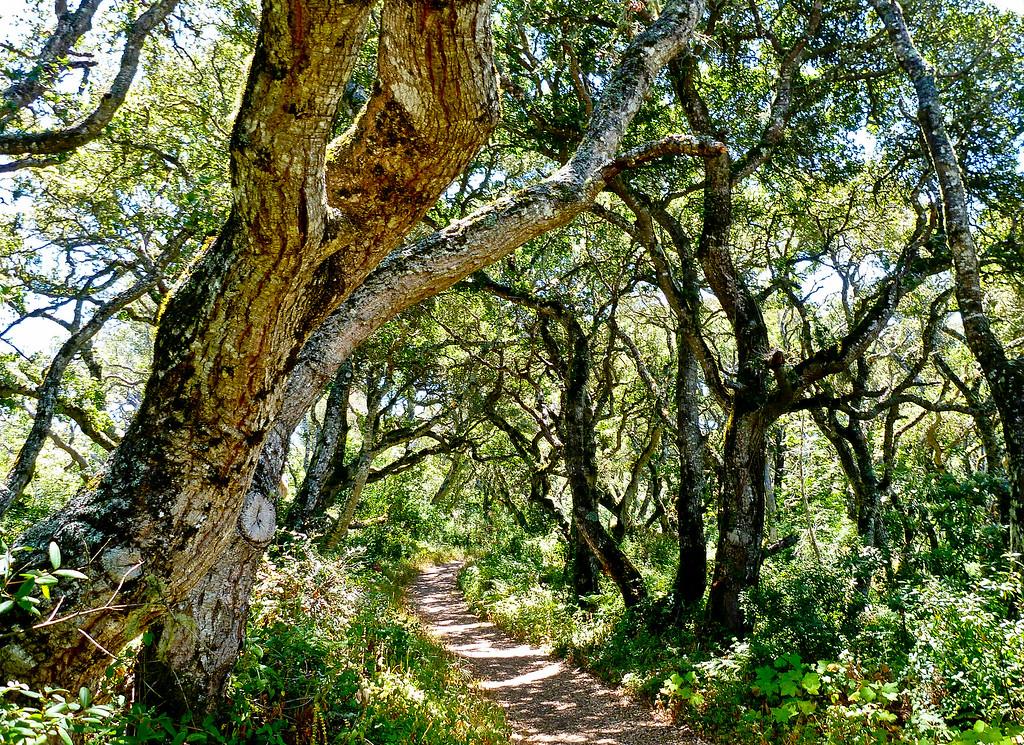 Oak Wanders