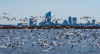 Snow Geese In Flight with Atlantic City Skyline 2/27/18