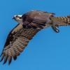 Osprey in Flight 4/8/17