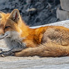 Red Fox Mama 4/27/21