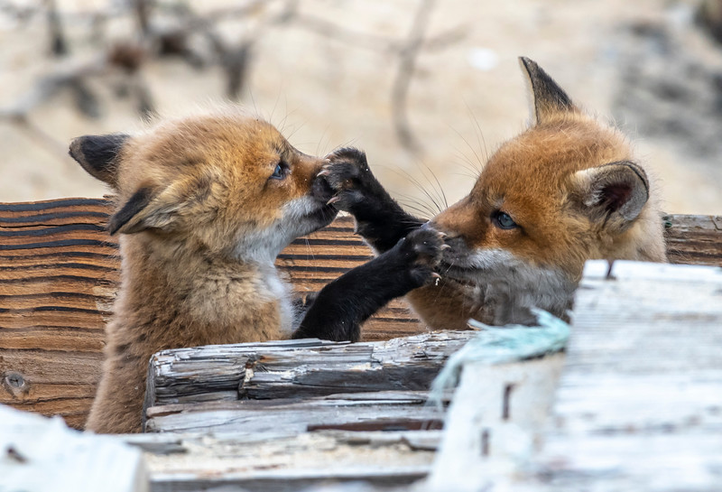 Red Fox Kits Playing 4/21/21
