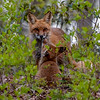 A Red Fox With Her Kits 5/13/20