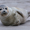 Harp Seal on Beach, Ocean Grove, NJ