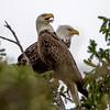Bald Eagle Pair 4/4/16