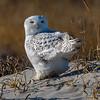 Snowy Owl 12/28/17