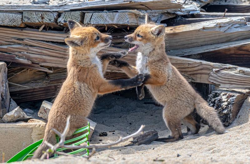 Red Fox Kits Playing 4/27/21