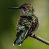 Ruby-Throated Hummingbird 7/20/18