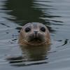 Harbor Seal 2/1/18