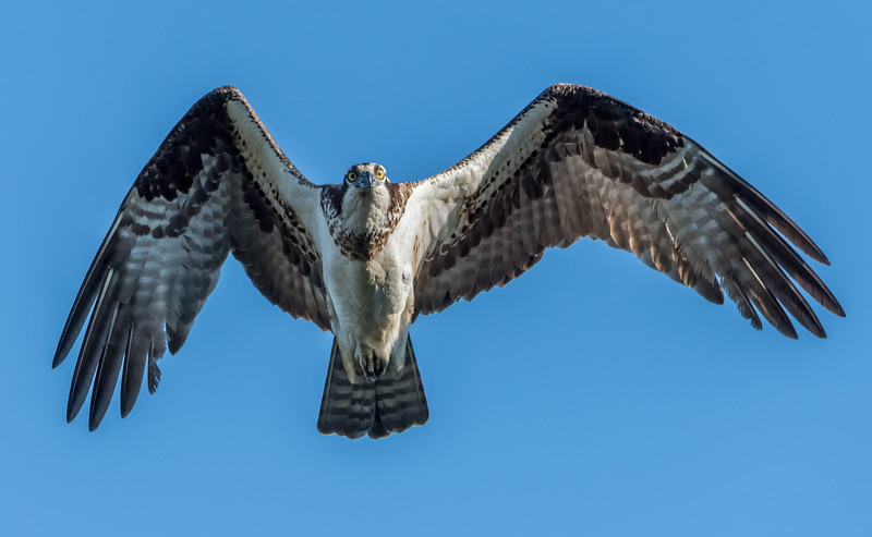 Osprey in Flight 5/7/17
