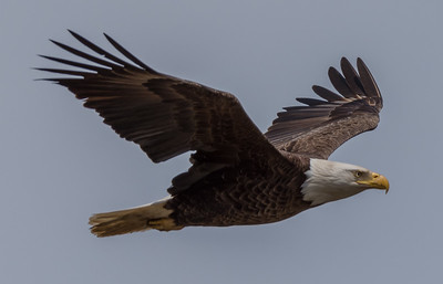 Bald Eagle in Flight 4/24/18